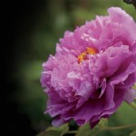Peony Spring Flower