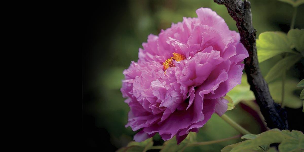 Peony queen of flowers in spring confuciusmag peony spring flower mightylinksfo